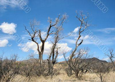 Old Dead Oak Trees in the Hot Sun