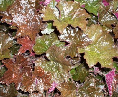 Background. Colored wet leafage in autumnal garden