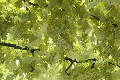 background of grape leaves