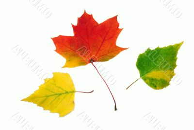 Autumn different leaves