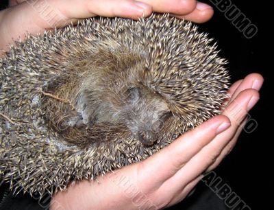 The scared wild hedgehog in human hands