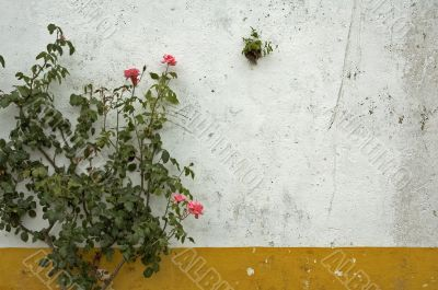 background of grunge wall and rose bush