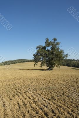 olive tree in a field - typical tuscan lanscape