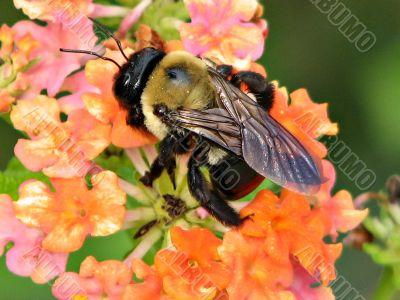 carpenter bee on lantana