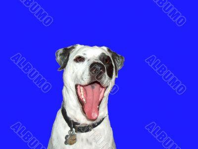 Laughing White Dog