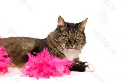 domestic cat laying in a boa