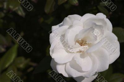 Sunny white rose