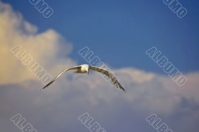Seagull lone in sky, sunset clouds on the background