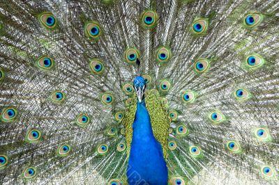 Impressive Peacock