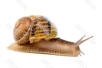 commun european snail (Helix aspersa)