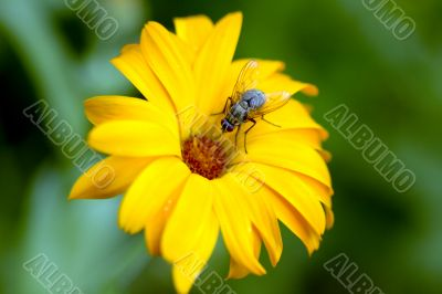 Fly is sitting on vivid daisy