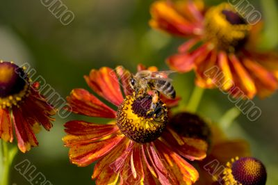 Bee pollinating orange flower