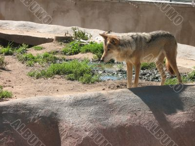 Brown wolf in the zoo