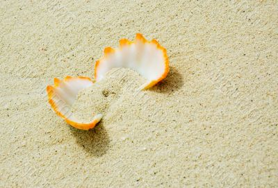 seashell in a sand