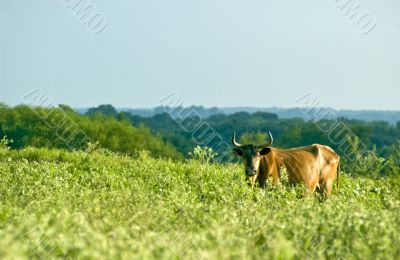 Cow in Pasture #1