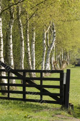 birch trees behind a gate