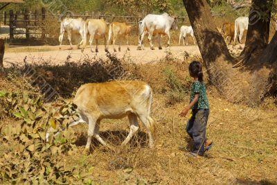 Herding Cows 1