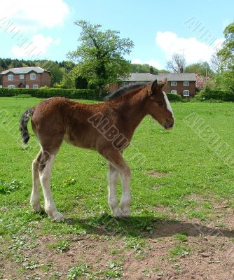 A Shire foal