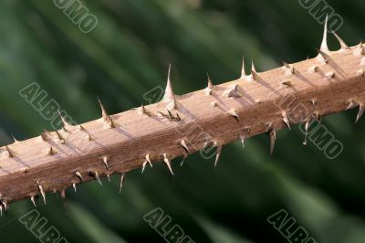 thorn on a stem