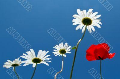 Papaver and daisy