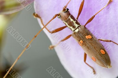 Longhorn Beetle - Batocera sp.