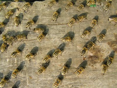 Many Bees on Frame