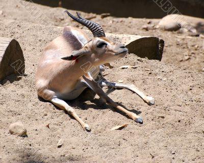 Speke`s Gazelle