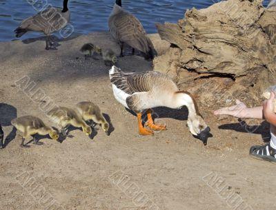 Hand Feeding Geese