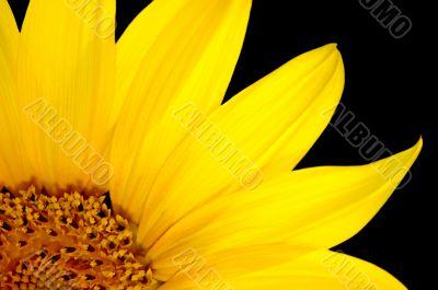Fresh sunflower, isolated