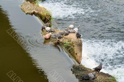 cascade. Pigeons.