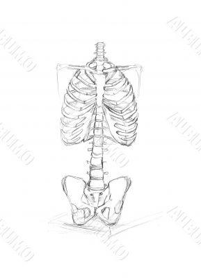 bones of upper limb, thoracic bones sketch