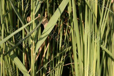 Green lake plant