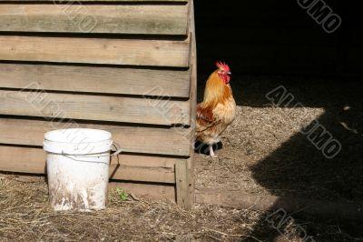 Rooster inside henhouse
