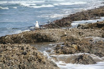 Western gull and barnacle reef