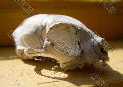 Skull of the animal
