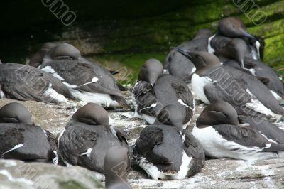 Common Murre, flock resting