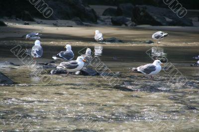 Western gulls bathing