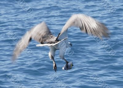 australian sea eagle catches fish with talons