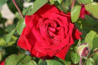 Big velvet red rose
