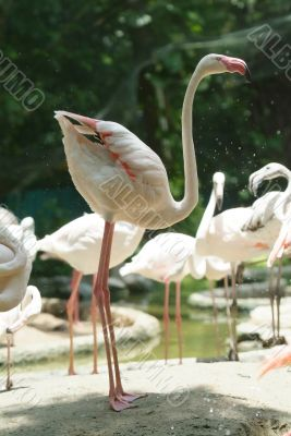 White flamingo standing