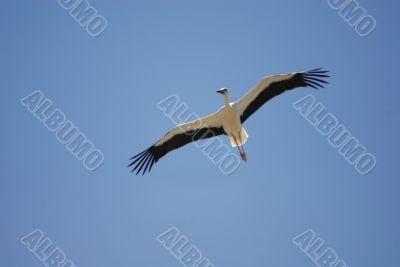 Almudevar 10 - Stork