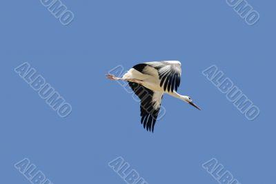 Almudevar 12 - Stork