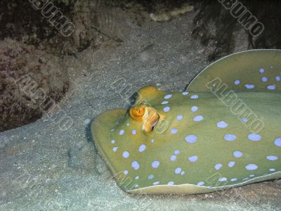 ribbontail blue spotted stingray