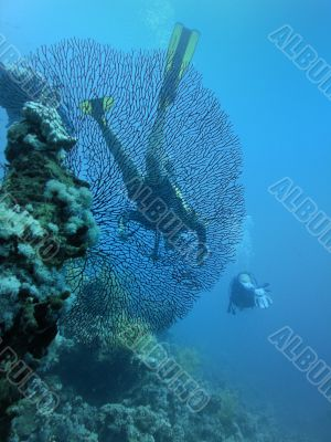 Divers behind of large horny coral