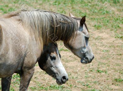Arab Horses 12