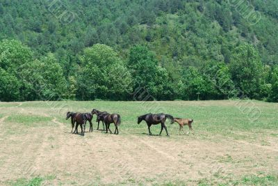 Arab Horses 5