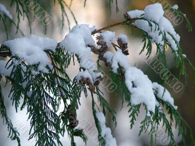 snow covered Cedar branch