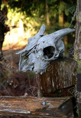old goat skull