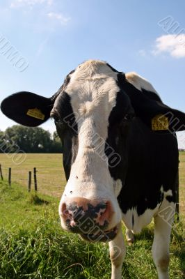 Cow is taking a look