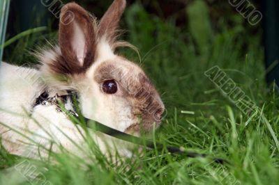 Rabbit talking a walk